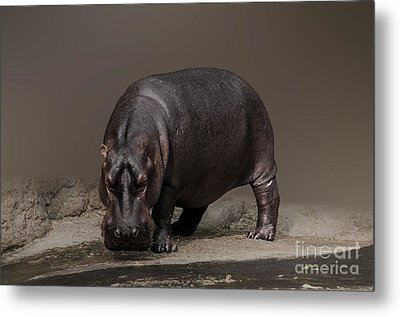 Mr. Hippo Metal Print by Charuhas Images