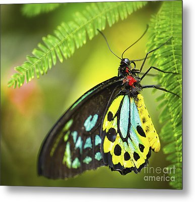 Mr. Richmond Birdwing Metal Print by Mary Lou Chmura