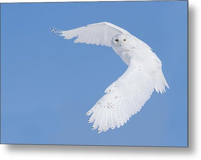 Mr Snowy Owl Metal Print by Mircea Costina Photography
