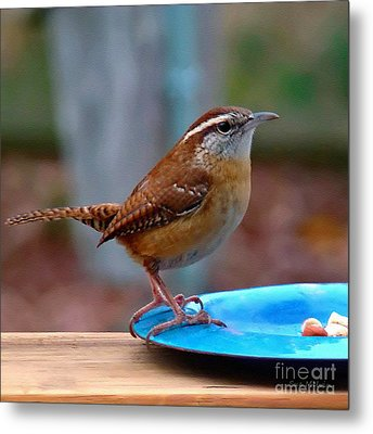 Mr Wren Metal Print by Sue Melvin