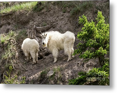 Mt Goat Outing Metal Print