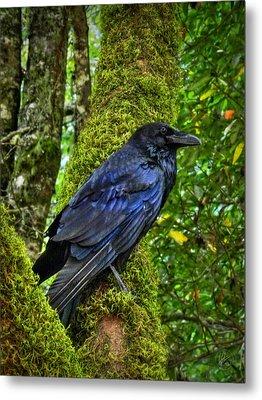Muir Woods Raven 001 Metal Print by Lance Vaughn