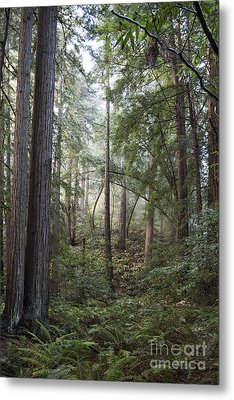 Metal Print featuring the photograph Muir Woods Tranquility by Sandra Bronstein
