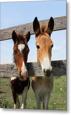 Mule And His Painted Friend Metal Print by Barbara McMahon