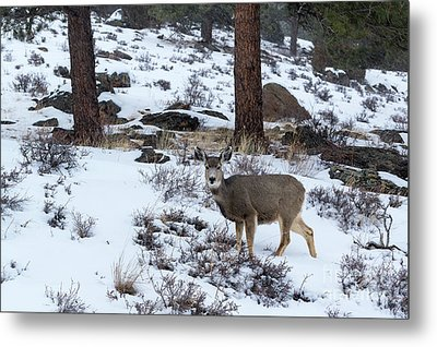 Mule Deer - 8922 Metal Print