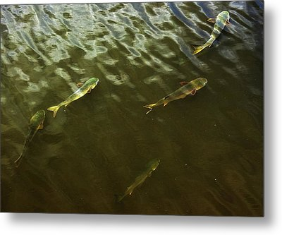 Mullet Fish Metal Print by Jeff Townsend