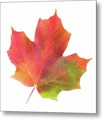 Metal Print featuring the photograph Multicolored Maple Leaf by Jim Hughes