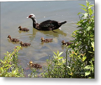 Muscovy Duck Family Metal Print
