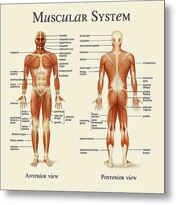 Metal Print featuring the photograph Muscular System by Gina Dsgn