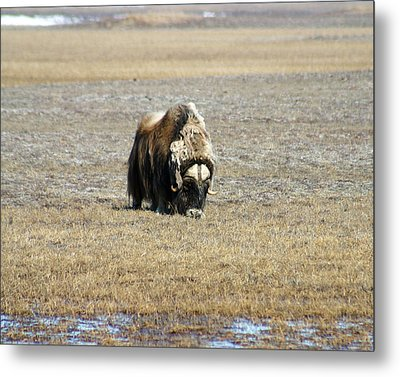 Musk Ox Grazing Metal Print by Anthony Jones
