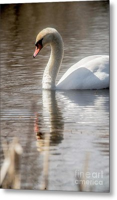 Metal Print featuring the photograph Mute Swan - 2 by David Bearden