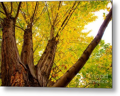 My Maple Tree Metal Print by James BO  Insogna