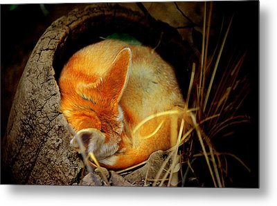 Napping Fennec Fox Metal Print