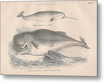 Narwhal And Sperm Whale Metal Print by Victorian Engraver