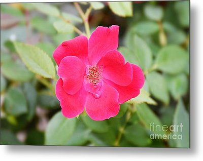 Metal Print featuring the photograph Nature - Colorful Flower Gifts  by Ray Shrewsberry