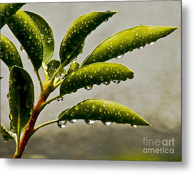 Early Morning Raindrops Metal Print by Carol F Austin
