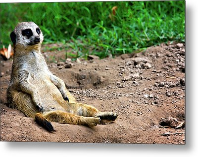 Natures Lazy Boy Metal Print by Lana Trussell