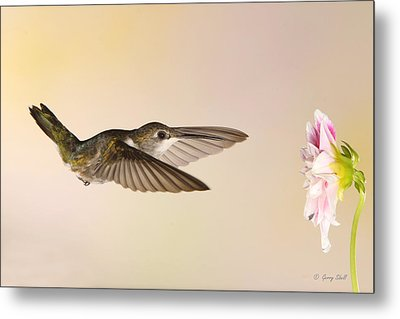 Metal Print featuring the photograph Nectar Seeking Missile by Gerry Sibell