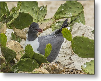 Metal Print featuring the photograph Nesting Laughing Gull by Paula Porterfield-Izzo