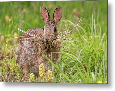 Nesting Rabbit Metal Print by Terry DeLuco