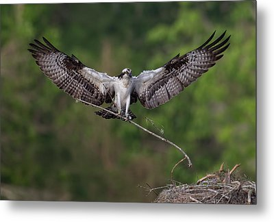 Nesting Time !!! Metal Print by Alfred Forns