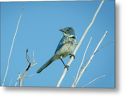 Nevada Blue Jay Metal Print