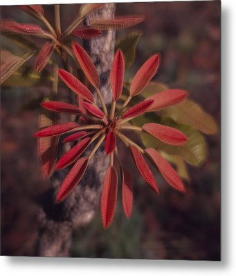 New Growth On A Shea Tree Metal Print by David Pluth