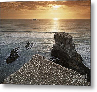 new zealand gannet colony at muriwai beach ,gannet fly from Muri Metal Print