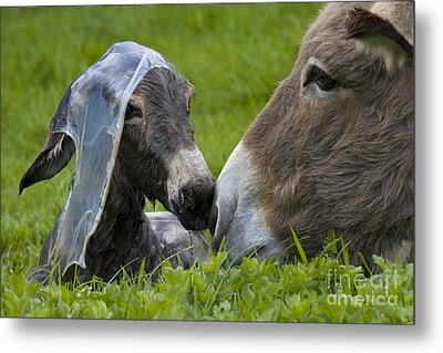 Newborn Donkey Metal Print
