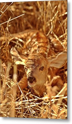 Newborn Fawn Metal Print by Mark Duffy