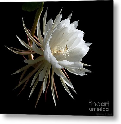 Night-blooming Cereus 1 Metal Print by Warren Sarle