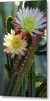 Metal Print featuring the photograph Night-blooming Cereus 4 by Marilyn Smith