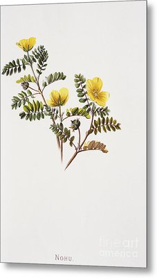 Nohu Flower - Vintage Metal Print by Hawaiian Legacy Archive - Printscapes