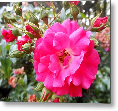 Nora's Knockout Roses Metal Print