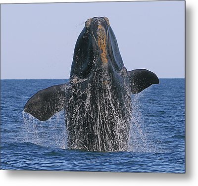 North Atlantic Right Whale Breaching Metal Print by Tony Beck