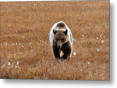 North Slope Grizzly Metal Print by Adam Owen