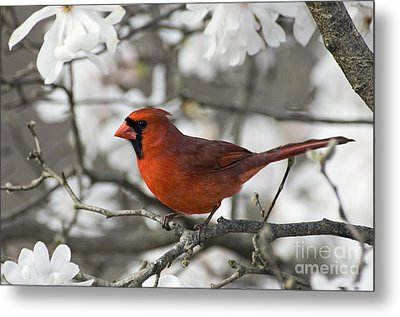 Northern Cardinal And Magnolia 3 - D009896 Metal Print by Daniel Dempster