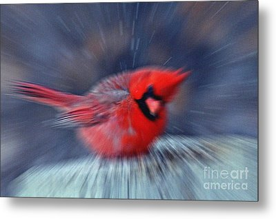 Northern Cardinal Metal Print by Celestial Images