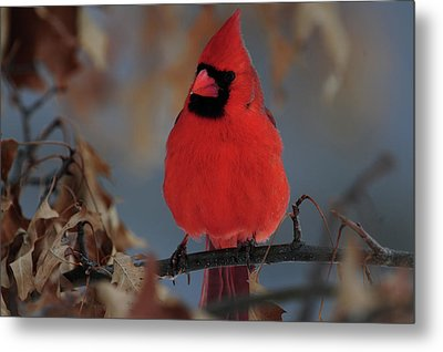 Metal Print featuring the photograph Northern Cardinal by Mike Martin