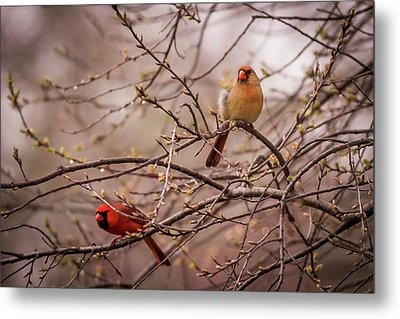 Metal Print featuring the photograph Northern Cardinal Pair In Spring by Terry DeLuco