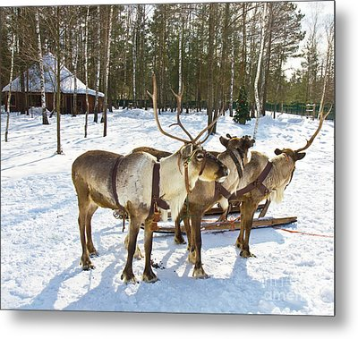 Northern Deers Metal Print