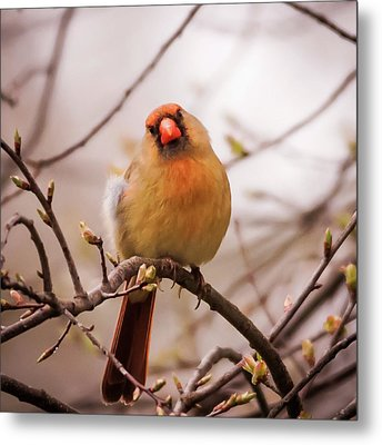 Northern Female Cardinal Pose Metal Print by Terry DeLuco