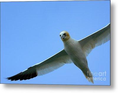 Northern Gannet Flying Through Blue Skies Metal Print by Sami Sarkis