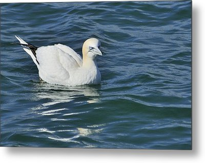 Metal Print featuring the photograph Northern Gannet Resting On The Water by Bradford Martin