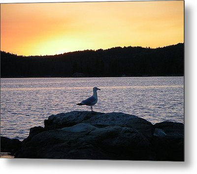 Northern Gull Metal Print by Peter  McIntosh