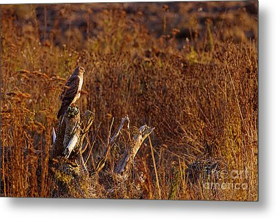Metal Print featuring the photograph Northern Harrier At Sunset by Sharon Talson