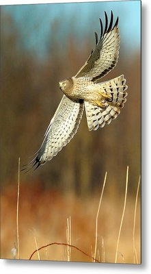 Northern Harrier Banking Metal Print