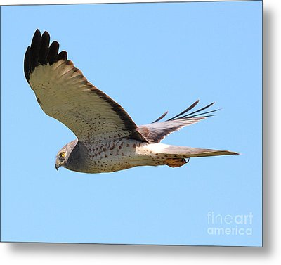 Northern Harrier In Flight Metal Print by Wingsdomain Art and Photography