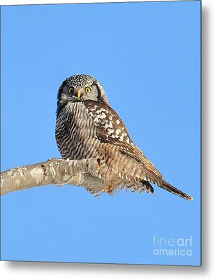 Metal Print featuring the photograph Northern Hawk-owl On Limb by Debbie Stahre