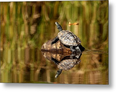 Northern Map Turtle Metal Print by Debbie Oppermann